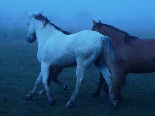 Cavalo_Criolo_01_RS